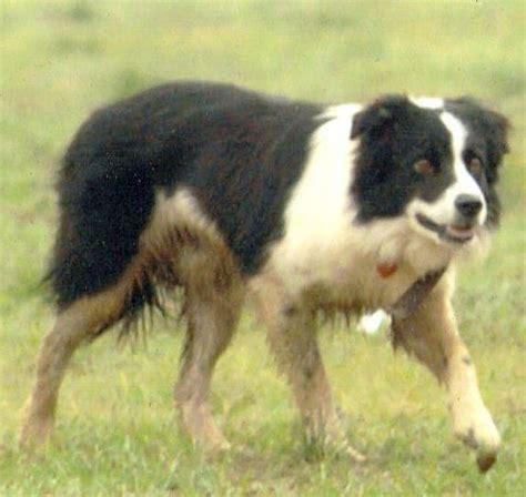 sooner puppies sturtz stock dogs