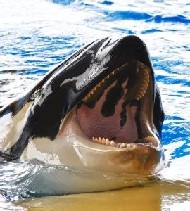 Detox By Seaworld by Seaworld S Killer Whales Are Taking Benzos The Fix