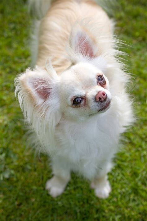 chihuahua puppies rescue chihuahua rescue breeds picture