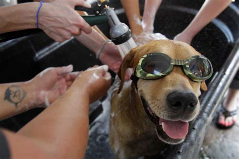 golden retriever puppies houston chronicle a named amos wears goggles during his bath at a wash photo photo 48027