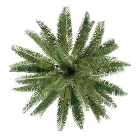 Areca Palm palme getrennt jubaea chilensis draufsicht stock foto
