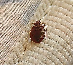 bedbug organic cures homeopathic bedbug