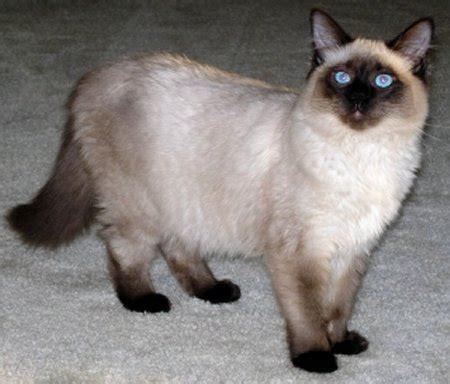 The Balinese balinese cat the of animals