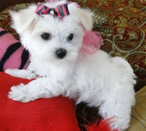 teacup maltese puppies puppy dogs teacup maltese puppies