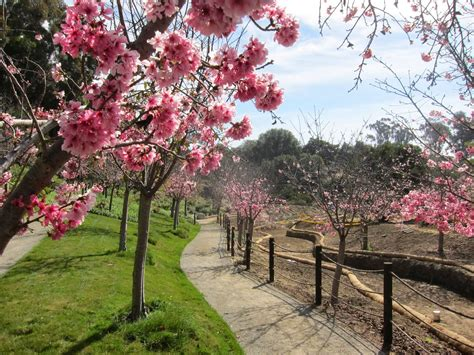 outdoor tree cherry blossom 2014 cherry blossom countdown one more week japanese friendship garden society of san diego