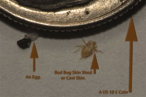 bed bug shed skin baby bed bugs eggs tell tale signs pictures pest