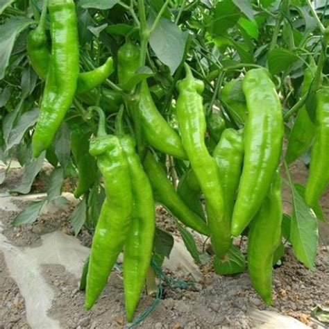 Multifarious Garden Vegetable Seed Survival Plant Seeds Ebay Vegetable Garden Seed
