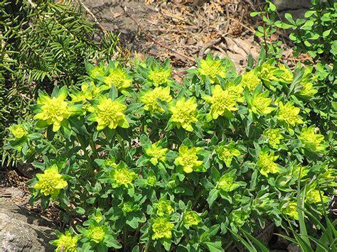 cushion spurge euphorbia epithymoides in columbus dublin delaware grove city gahanna bexley