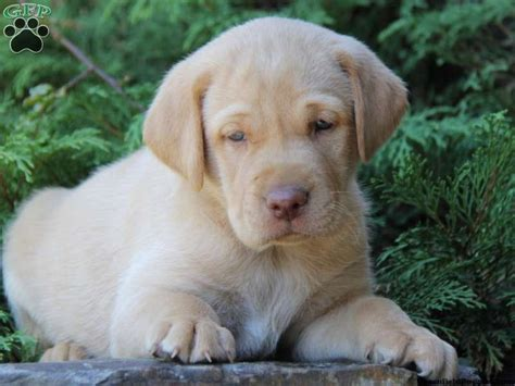 yellow lab puppies for sale in pa 16 best images about ruby dogs on yellow labrador puppies labrador