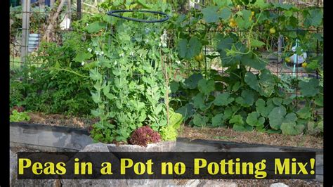 growing peas   pot container gardening small spaces
