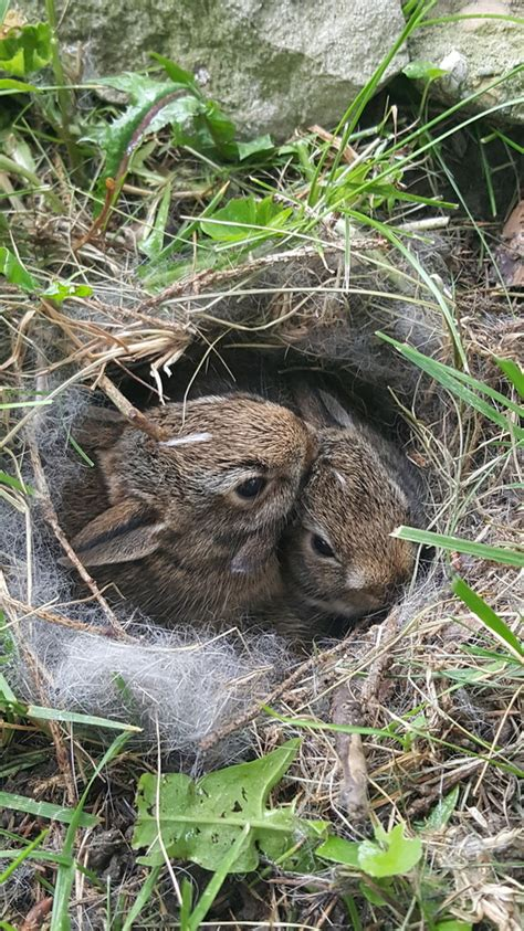 baby bunnies in my backyard a nest of baby bunnies in our backyard animals and more