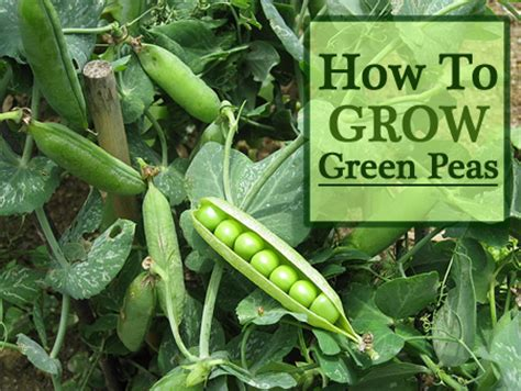 how to re grow green 28 images how to regrow green