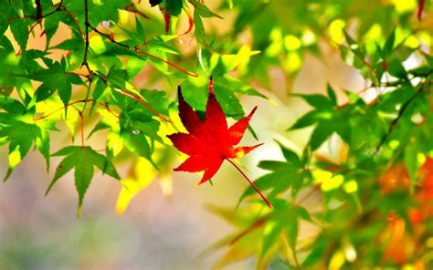 wallpaper daun maple maple leaf picture photo wallpaper high definition