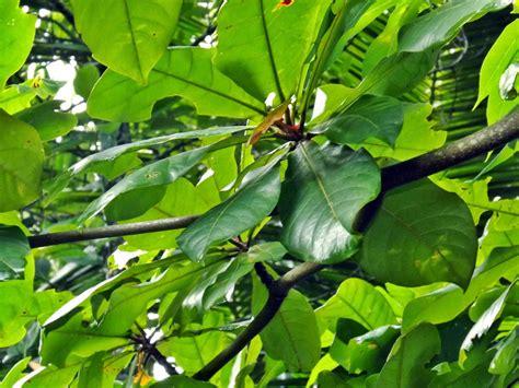 Udang Kering Untuk Pakan Ikan Louhan tips manfaat daun ketapang kering untuk ikan hias dunia