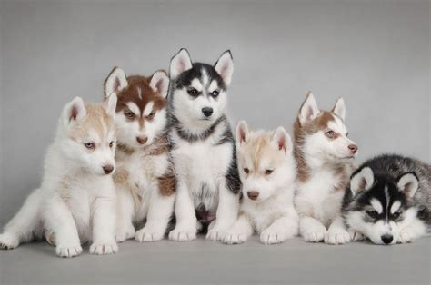 how to potty a husky puppy pet supplies for dogs and cats rosyandrocky tips how to potty a husky puppy