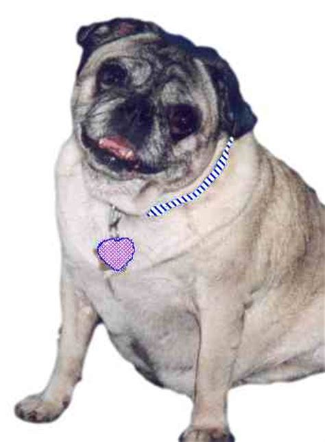 pug diet plan canine obesity what you can do