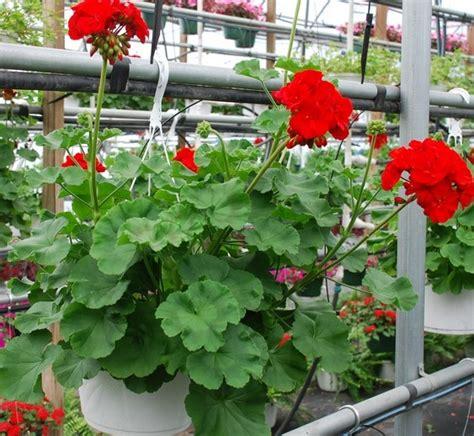Bibit Tanaman Anti Nyamuk tanaman hias gantung berbunga bibitbunga