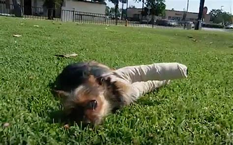 yorkie broken leg abandoned yorkie with broken legs rescued from park