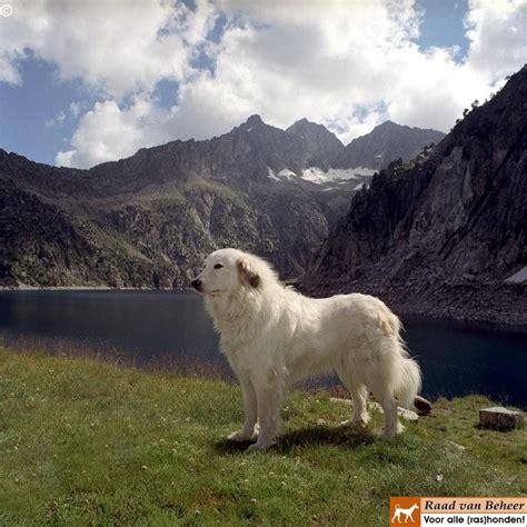 pyrenean mountain pyrenean mountain great pyrenees pyrenean mountain dogs grea