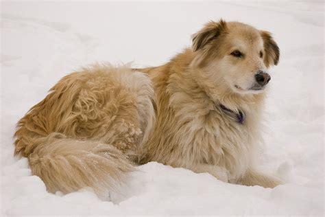 goberian puppy goberian golden retriever and siberian husky mix breeds picture