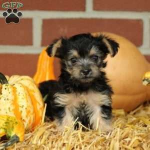 yorkie puppies denver yorkie chon puppies for sale greenfield puppies