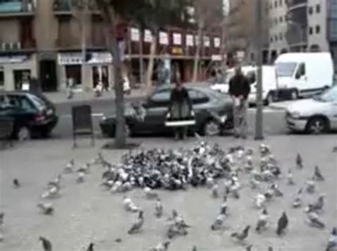 how to catch pigeons for how to catch a bunch of pigeons gadgetking