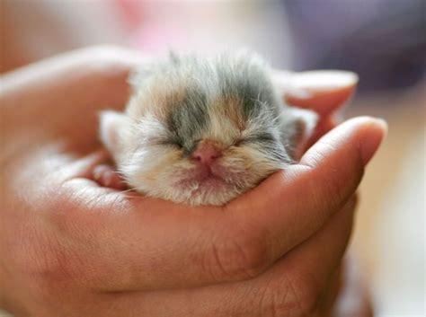 newborn kittens newborn kitten kittens pinterest