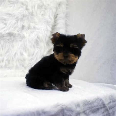 teacup yorkies for sale in kent miniature yorkie quotes