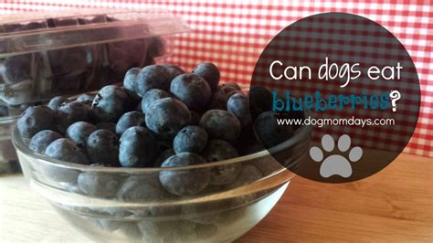 can dogs eat berries can dogs eat blueberries days