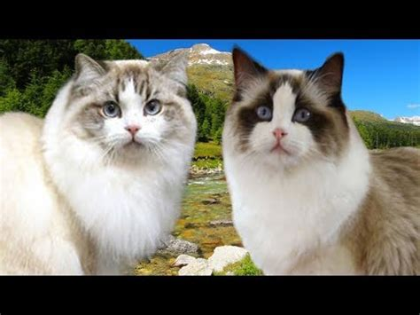 ragdoll vs ragdoll ragamuffin cat vs ragdoll cat