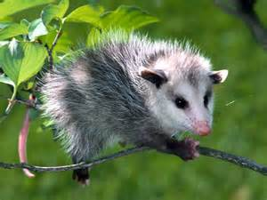 Amazing Animals Opossum Amazing Animal Interesting Facts Photos The