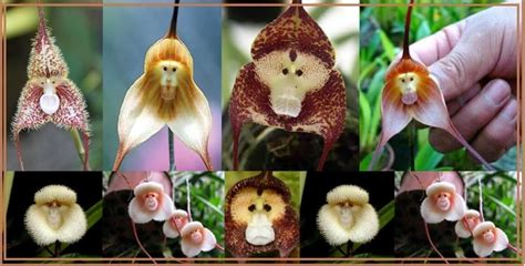Affen Orchidee Kaufen by 15 Most Flowers From Around The World Page 3 Of 5