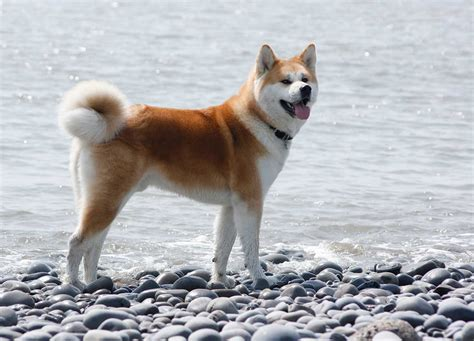 akita breed akita breed 187 information pictures more