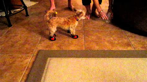 dogs walking in shoes walking in shoes funnydog tv