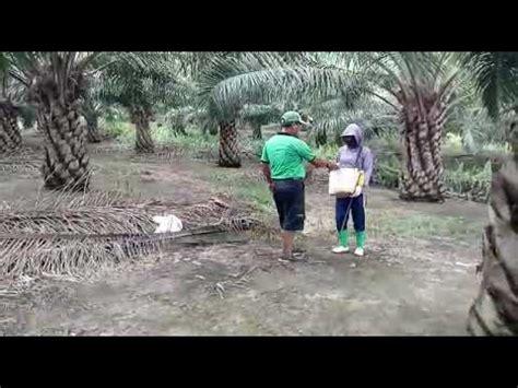 cara pemupukan pohon kelapa sawit youtube
