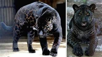 Jaguar And Tiger Hybrid 11 Animal Hybrids That Actually Exist Page 2 Of 5