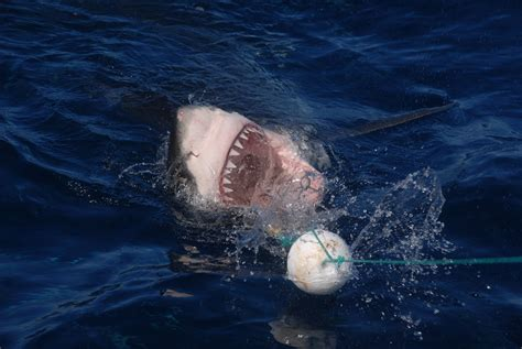 metal shark boats kenya diving with great white sharks in australia the two week