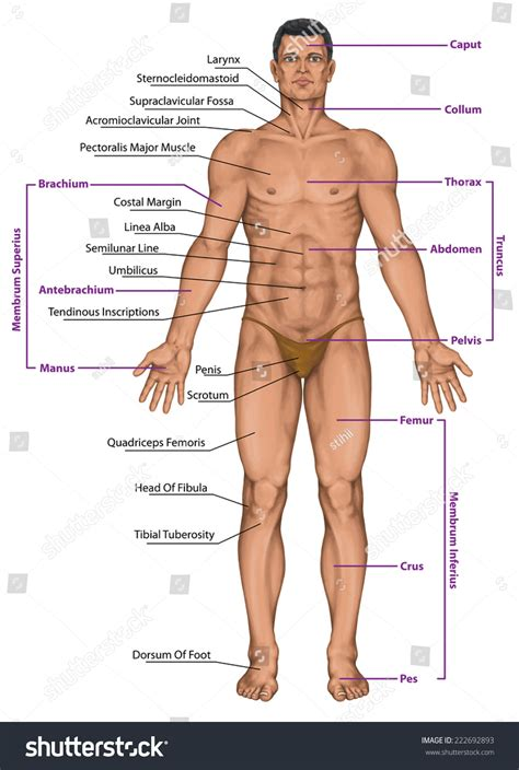 sections of body male masculine mans anatomical body surface stock
