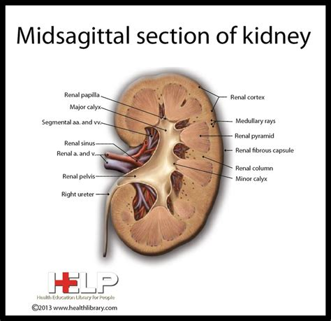 section of kidney midsagittal section of kidney urinary system pinterest