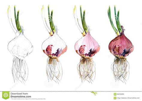 watercolor tutorial sketch page shows how drawing red onions watercolor sketch draw