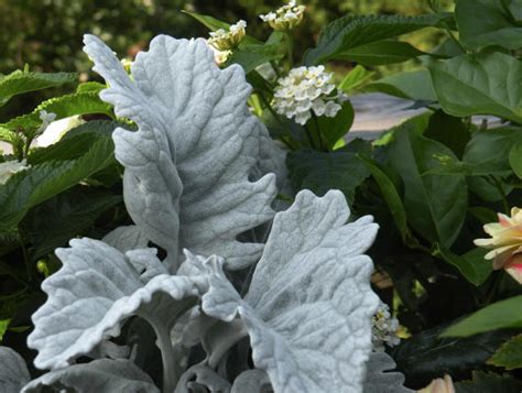 grey foliage plants top ten container plants for record breaking summer