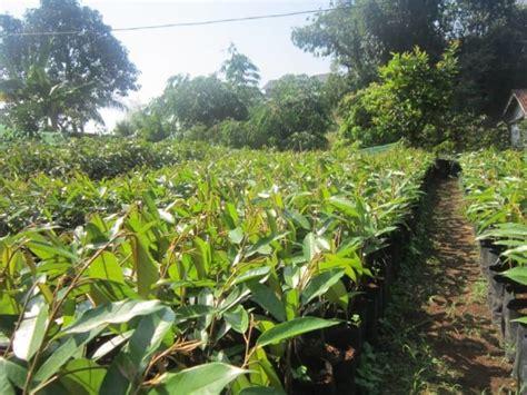 Bibit Durian Matahari Unggul new wa 0812 8560 4125 jual bibit durian pendek cepat buah