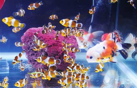 Pakan Ikan Hias Kecil Air Tawar nemo dan maskoki di satu akuarium bebeja