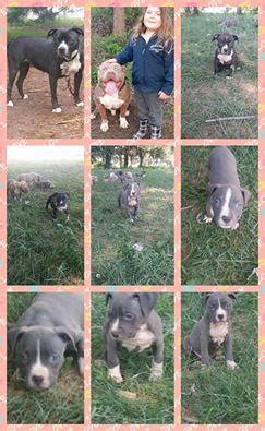 american bully puppies for sale in ny bully for sale puppies for sale