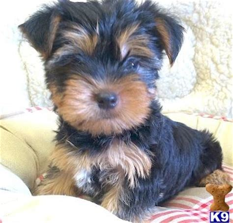 yorkies for sale in new york terrier puppies for sale in new york