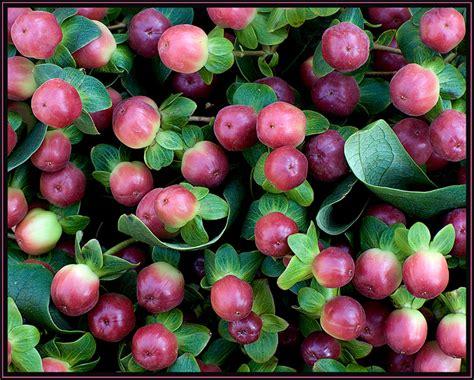 fiori di bacche bacche di primavera hypericum foto immagini piante