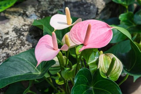 fiori anthurium growing anthuriums outdoors caring for outdoor anthurium