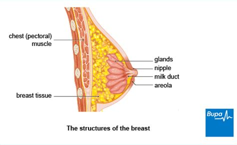 diagram of the breast breast cancer bupa
