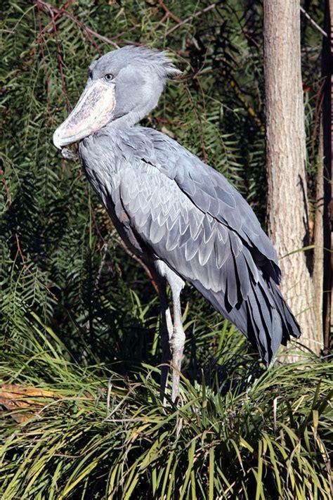comedor wikidictionary shoebill wiktionary