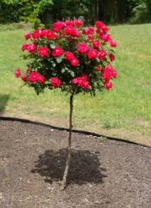 Patio Roses For Sale by Red Knockout Rose Trees For Sale Brighter Blooms Nursery